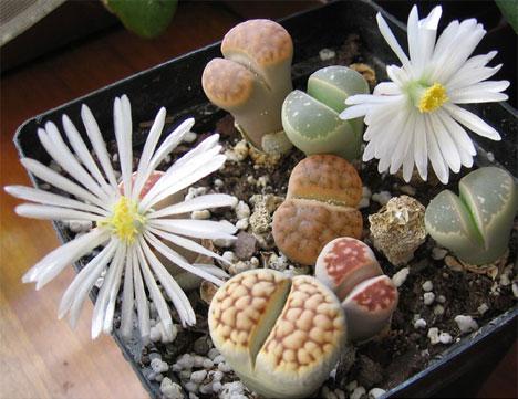 h2w_plants_lithops.jpg