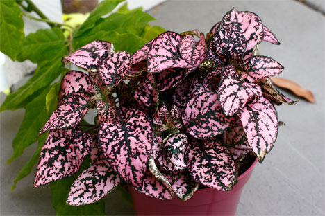 plants for windowless office. h2w_plants_polka-dot-plant.jpg plants for windowless office u