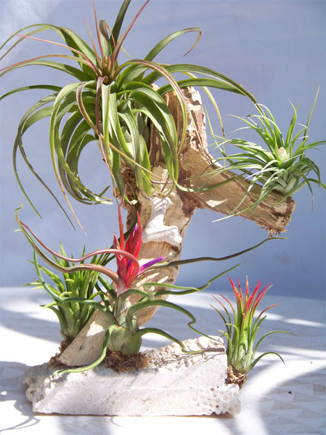 h2w_plants_tillandsia.jpg